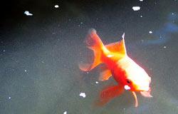 Zum Kotzen: Goldfisch